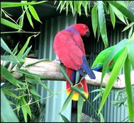 Moluccan Red Lory Lory