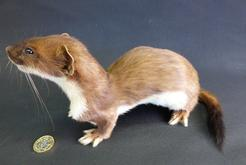 Adrian Johnstone, Professional Taxidermist since 1981. Supplier to private collectors, schools, museums, businesses and the entertainment world. Taxidermy is highly collectable. A taxidermy stuffed adult Stoat (no:38), in excellent condition.