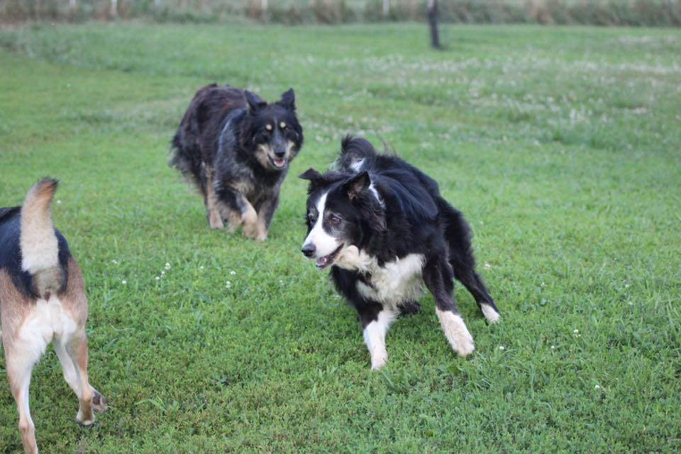 East Tennessee Border Collie Rescue - Adopting A Dog, Rescue