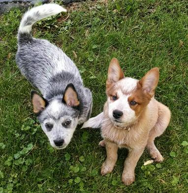 small show hobby breeder australian cattle dogs blue amp red