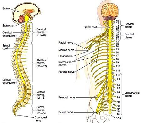 spinal cord and spinal nerves, Human Body
