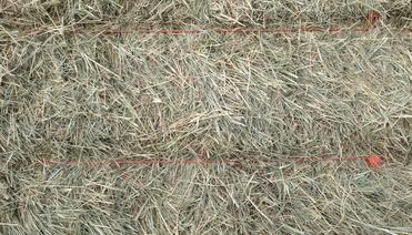 Coastal hay in square bales