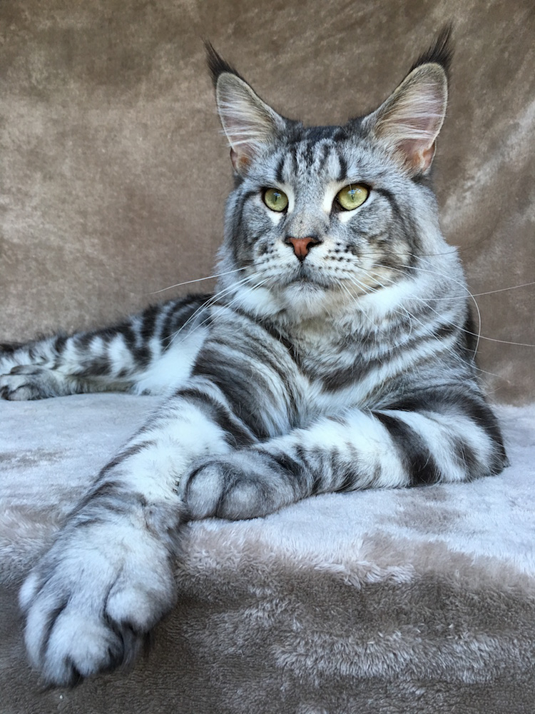 Maine Coon Cat Pictures Free
