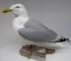 Adrian Johnstone, professional Taxidermist since 1981. Supplier to private collectors, schools, museums, businesses, and the entertainment world. Taxidermy is highly collectable. A taxidermy stuffed Herring Gull (9880), in excellent condition.