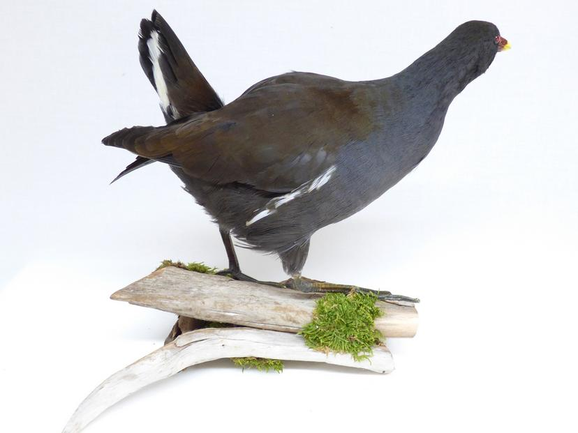 Adrian Johnstone, Professional Taxidermist since 1981. Supplier to private collectors, schools, museums, businesses and the entertainment world. Taxidermy is highly collectible. A taxidermy stuffed adult Moorhen (9344) in excellent condition.