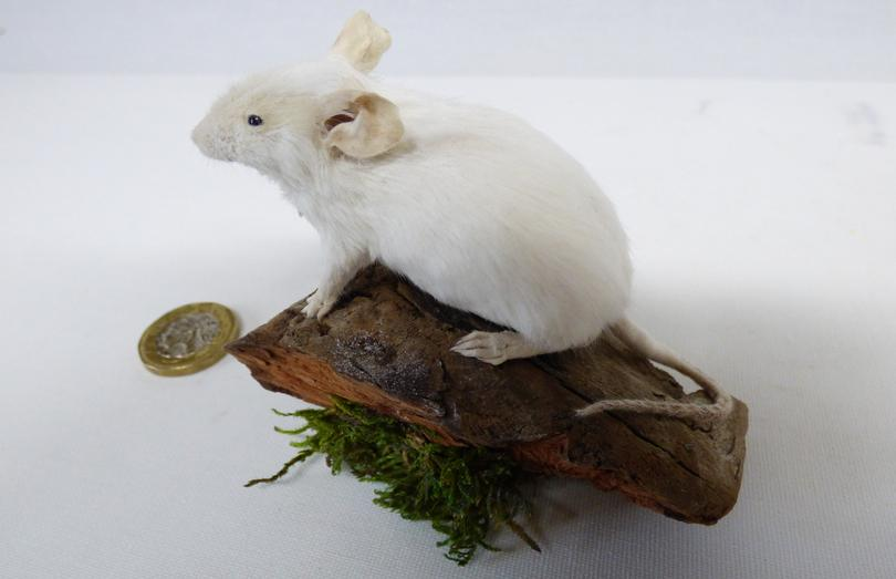 Adrian Johnstone, Professional Taxidermist since 1981. Supplier to private collectors, schools, museums, businesses and the entertainment world. Taxidermy is highly collectable. A taxidermy stuffed White Mouse (21), in excellent condition.