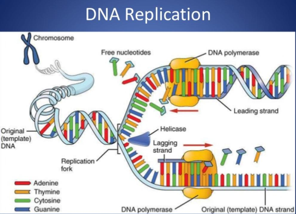 Section 4 pics and tutorials dna structure malvernweather Choice Image