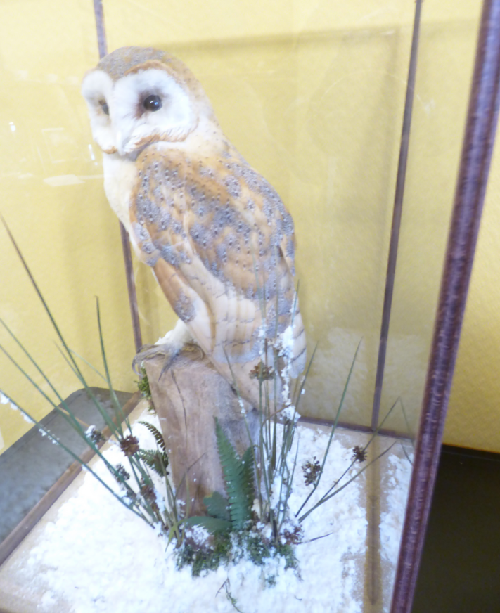Adrian Johnstone, professional Taxidermist since 1981. Supplier to private collectors, schools, museums, businesses, and the entertainment world. Taxidermy is highly collectible. A taxidermy stuffed Barn Owl In Case (9760), in excellent condition. Mobile: 07745 399515 Email: adrianjohnstone@btinternet.com