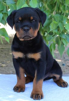 German Rottweiler Puppies For Sale German Rottweiler Puppies For