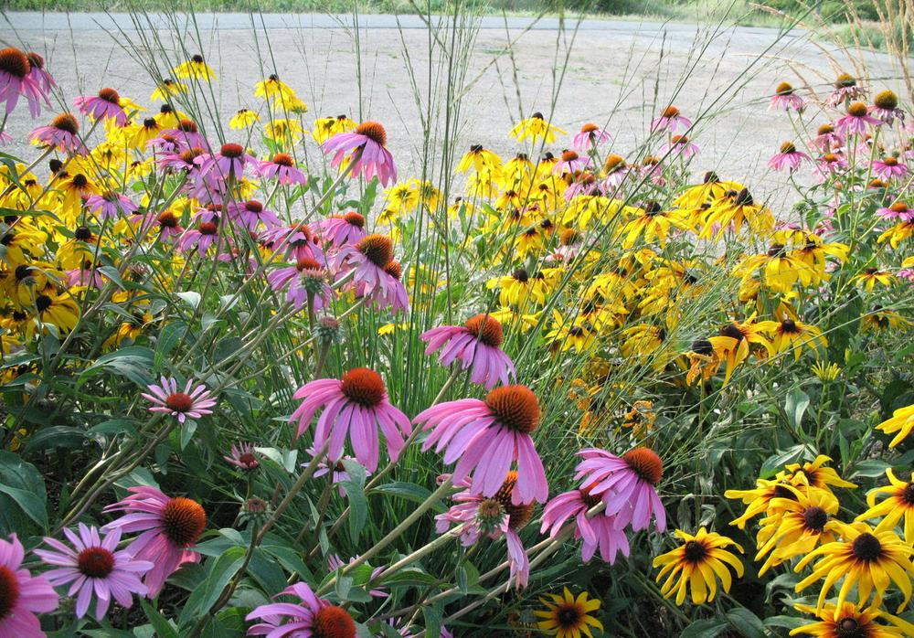Purple coneflower, Brown-eyed susan
