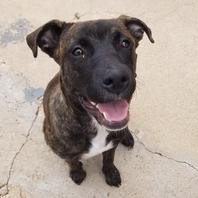Pit Bull Adoption - Saving Grace Pit Bull Rescue - Lubbock, Tx