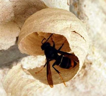 Queen-Asian-hornet-making-nest-in-France