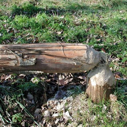 Beaver-tree-cut-down-france-Vienne-nature