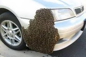 Swarm of bees on car