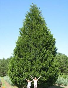 Evergreen for Small slow growing evergreen trees