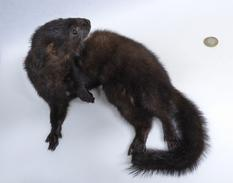 Adrian Johnstone, professional Taxidermist since 1981. Supplier to private collectors, schools, museums, businesses, and the entertainment world.Taxidermy is highly collectable. A taxidermy stuffed American Mink (636), in excellent condition. Mobile: 07745 399515 Email: adrianjohnstone@btinternet.com