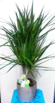 Dracaena in ceramic pot for sale| Indoor plants | House plants | The Little Flowershop