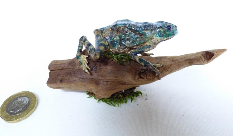 Adrian Johnstone, professional Taxidermist since 1981. Supplier to private collectors, schools, museums, businesses, and the entertainment world. Taxidermy is highly collectable. A taxidermy stuffed Tiger Toad (585) in excellent condition. Mobile: 07745 399515 Email: adrianjohnstone@btinternet.com