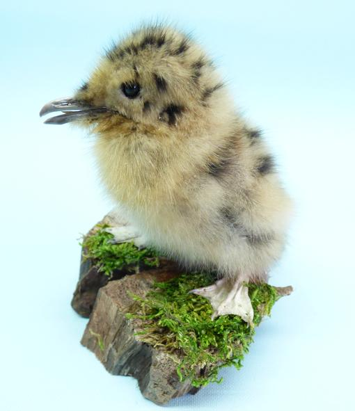 Adrian Johnstone, professional Taxidermist since 1981. Supplier to private collectors, schools, museums, businesses, and the entertainment world. Taxidermy is highly collectable. A taxidermy stuffed Black Headed Gull Chick, in excellent condition.