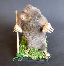 Adrian Johnstone, professional Taxidermist since 1981. Supplier to private collectors, schools, museums, businesses, and the entertainment world. Taxidermy is highly collectable. A taxidermy stuffed Gardening Mole With Rake (22), in excellent condition.