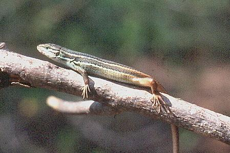 Unusual-lizard-in-the-south-of-france