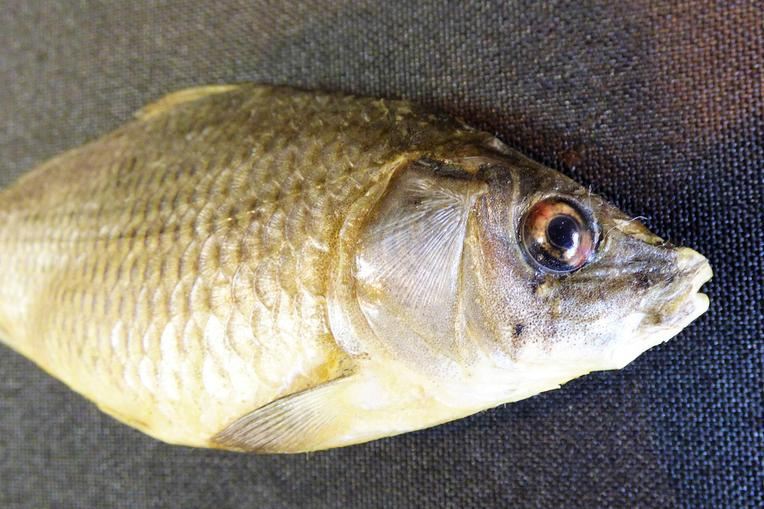 Adrian Johnstone, professional Taxidermist since 1981. Supplier to private collectors, schools, museums, businesses, and the entertainment world. Taxidermy is highly collectable. A taxidermy stuffed young Common Carp (3), in excellent condition.