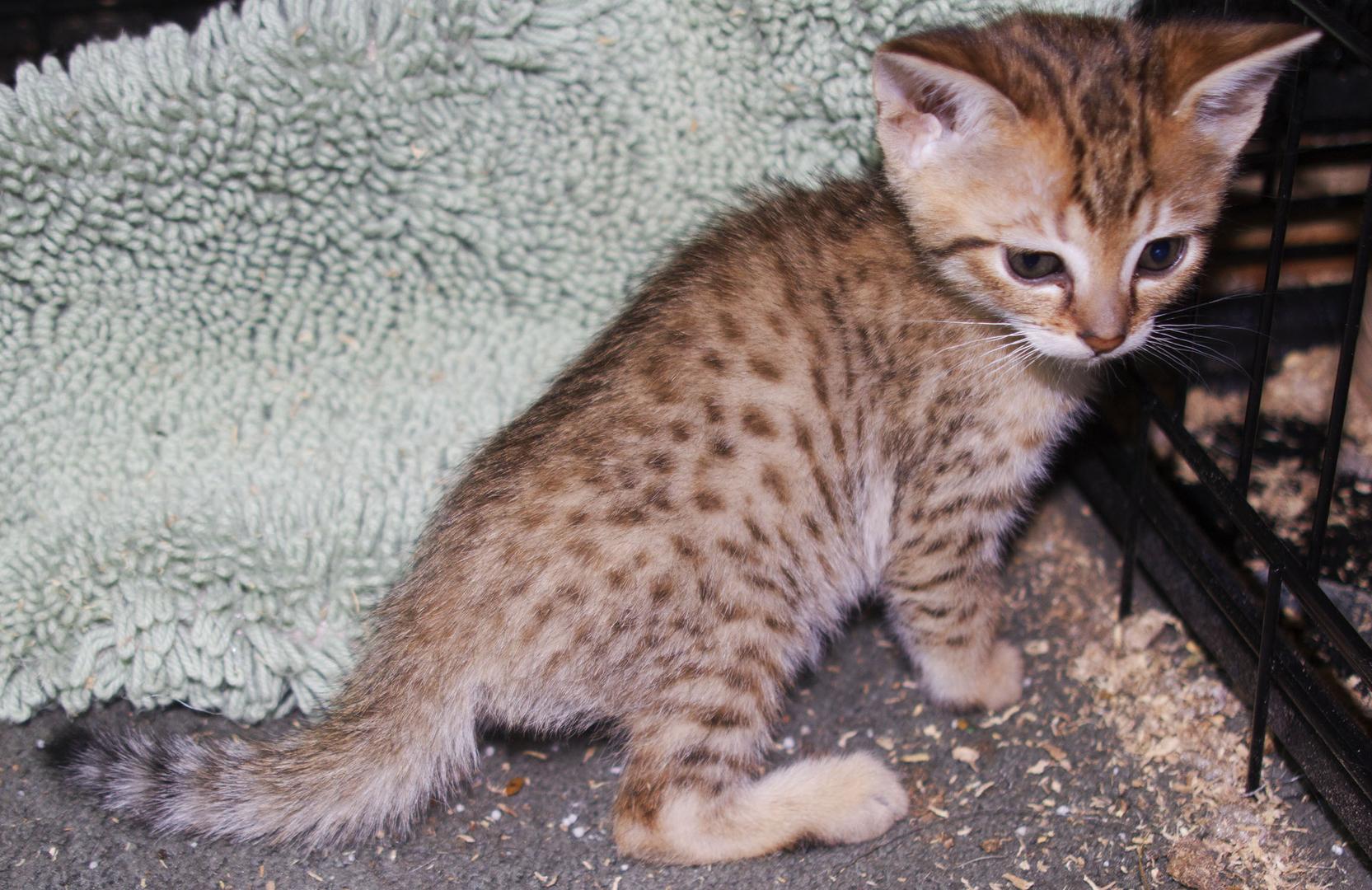 F4 Savannah Kittens For Sale & Adoption In Iowa & Illinois