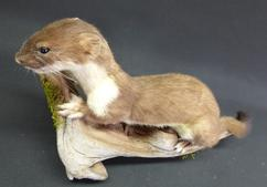 Adrian Johnstone, Professional Taxidermist since 1981. Supplier to private collectors, schools, museums, businesses and the entertainment world. Taxidermy is highly collectable. A taxidermy stuffed adult Stoat (39), in excellent condition.