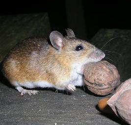 Rodent Control   Poison Free Mice Control   Livingston County, MI