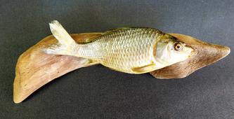 Adrian Johnstone, professional Taxidermist since 1981. Supplier to private collectors, schools, museums, businesses, and the entertainment world. Taxidermy is highly collectable. A taxidermy stuffed young Common Carp (6), in excellent condition.