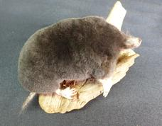 Adrian Johnstone, professional Taxidermist since 1981. Supplier to private collectors, schools, museums, businesses, and the entertainment world. Taxidermy is highly collectable. A taxidermy stuffed adult Mole (120), in excellent condition.