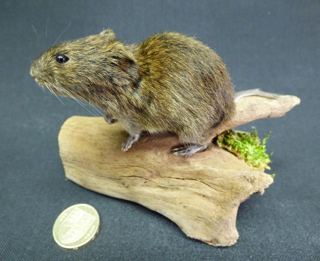 Adrian Johnstone, Professional Taxidermist since 1981. Supplier to private collectors, schools, museums, businesses and the entertainment world. Taxidermy is highly collectable. A taxidermy stuffed free standing adult Short Tailed Field Vole (61), in excellent condition.