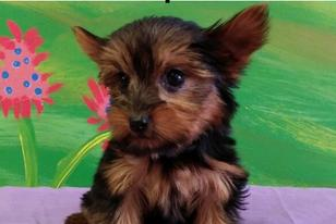 Puppies For Sale - Puppies St Pete - St Petersburg, Fl