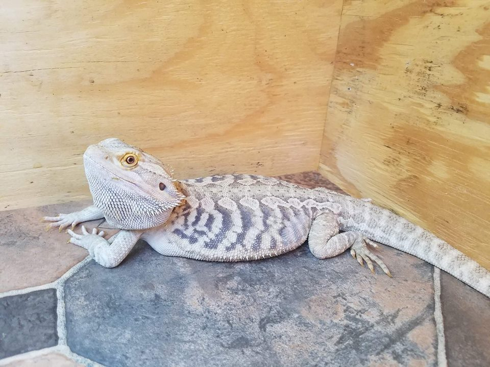 Dragons Available