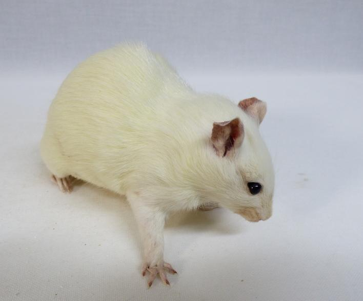 Adrian Johnstone, professional Taxidermist since 1981. Supplier to private collectors, schools, museums, businesses, and the entertainment world. Taxidermy is highly collectible. A taxidermy stuffed White Rat (673), in excellent condition. Mobile: 07745 399515 Email: adrianjohnstone@btinternet.com