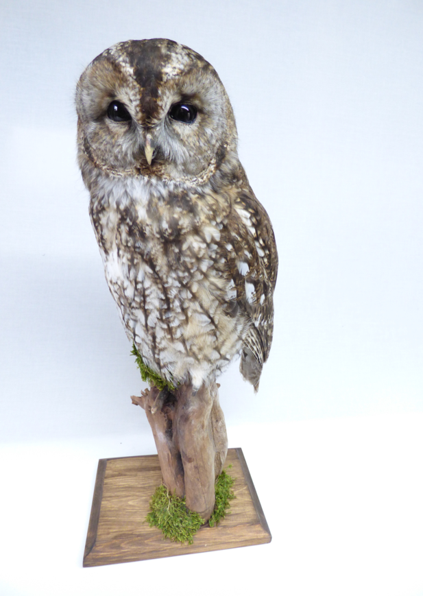 Adrian Johnstone, Professional Taxidermist since 1981. Supplier to private collectors, schools, museums, businesses and the entertainment world. Taxidermy is highly collectable. A taxidermy stuffed Tawny Owl (9828) in excellent condition.