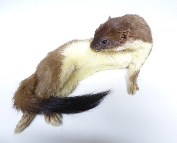 Adrian Johnstone, Professional Taxidermist since 1981. Supplier to private collectors, schools, museums, businesses and the entertainment world. Taxidermy is highly collectible. A taxidermy stuffed Stoat (23), in excellent condition.