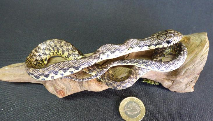 Adrian Johnstone, professional Taxidermist since 1981. Supplier to private collectors, schools, museums, businesses, and the entertainment world. Taxidermy is highly collectable. A taxidermy stuffed Snake (163), in excellent condition.