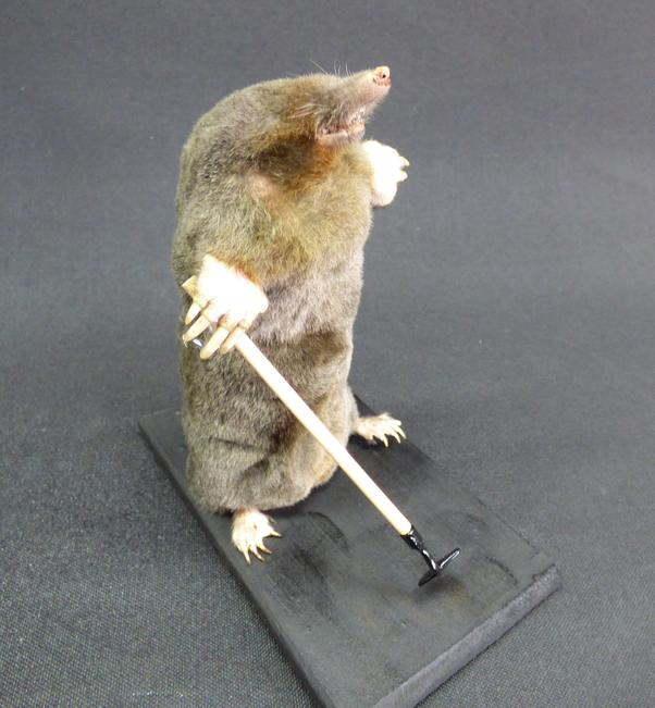Adrian Johnstone, professional Taxidermist since 1981. Supplier to private collectors, schools, museums, businesses, and the entertainment world. Taxidermy is highly collectable. A taxidermy stuffed Gardening Mole With Hoe (no:58), in excellent condition.