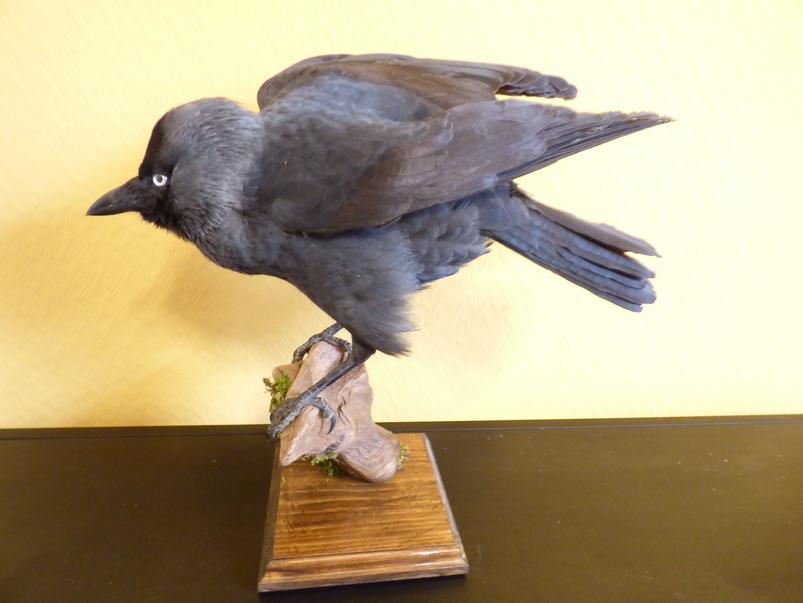 Adrian Johnstone, professional Taxidermist since 1981. Supplier to private collectors, schools, museums, businesses, and the entertainment world. Taxidermy is highly collectable. A taxidermy stuffed Jackdaw (9229), in excellent condition.