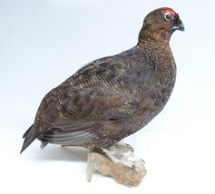 Adrian Johnstone, professional Taxidermist since 1981. Supplier to private collectors, schools, museums, businesses, and the entertainment world. Taxidermy is highly collectible. A taxidermy stuffed Red Grouse (5), in excellent condition.