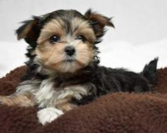 Morkie Puppies Yorkie Puppies Teeny Pup Toronto On