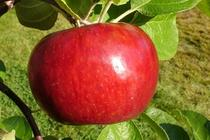 Rim's Edge Orchard Pick Your Own Cortland Apple