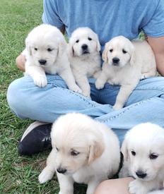 Golden Retriever Puppies Tampa Florida English Cream Goldens