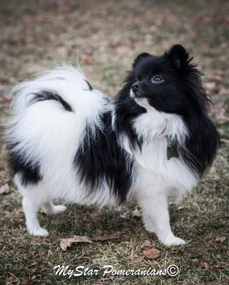 Black and White Parti Female Pomeranian-My star Pomeranian