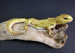 Adrian Johnstone, professional Taxidermist since 1981. Supplier to private collectors, schools, museums, businesses, and the entertainment world. Taxidermy is highly collectable. A taxidermy stuffed Lizard (27) in excellent condition.