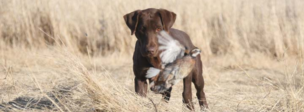 South Dakota Hunting Dogs