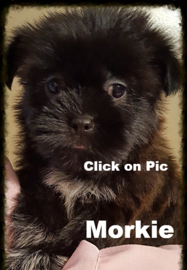 Morkie puppies for sale in KY