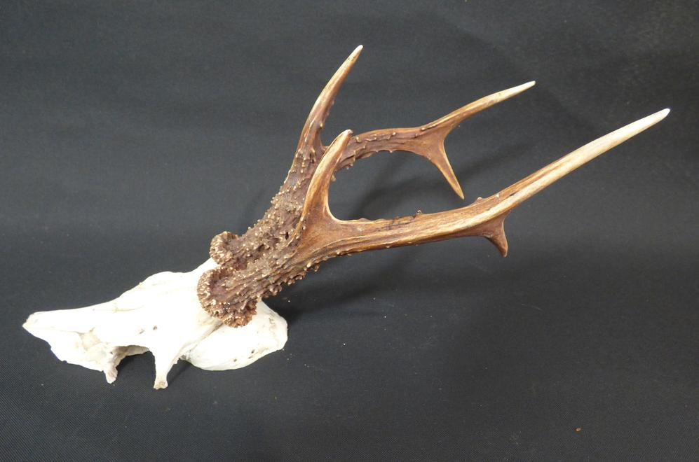 Adrian Johnstone, professional Taxidermist since 1981. Supplier to private collectors, schools, museums, businesses, and the entertainment world. Taxidermy is highly collectable. Roe Deer Antlers (set 2), in excellent condition.