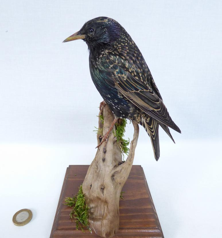Adrian Johnstone, professional Taxidermist since 1981. Supplier to private collectors, schools, museums, businesses, and the entertainment world. Taxidermy is highly collectable. A taxidermy stuffed Starling (12a), in excellent condition. Mobile: 07745 399515 Email: adrianjohnstone@btinternet.com